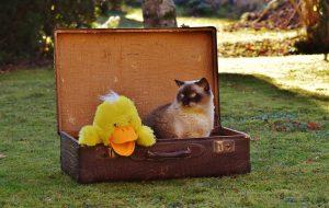 A feline in a suitcase